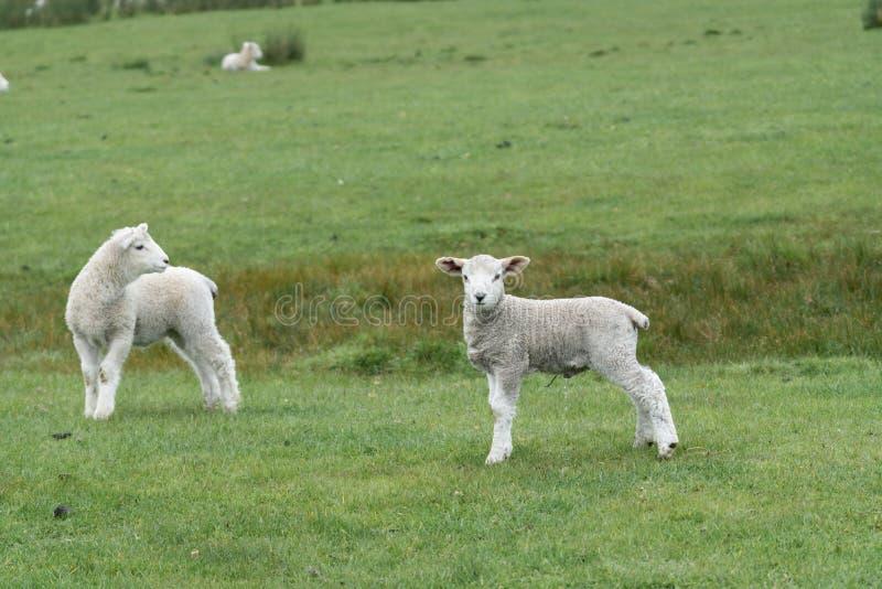 Schafe und neue Lämmer auf Bauernhof lizenzfreie stockfotografie