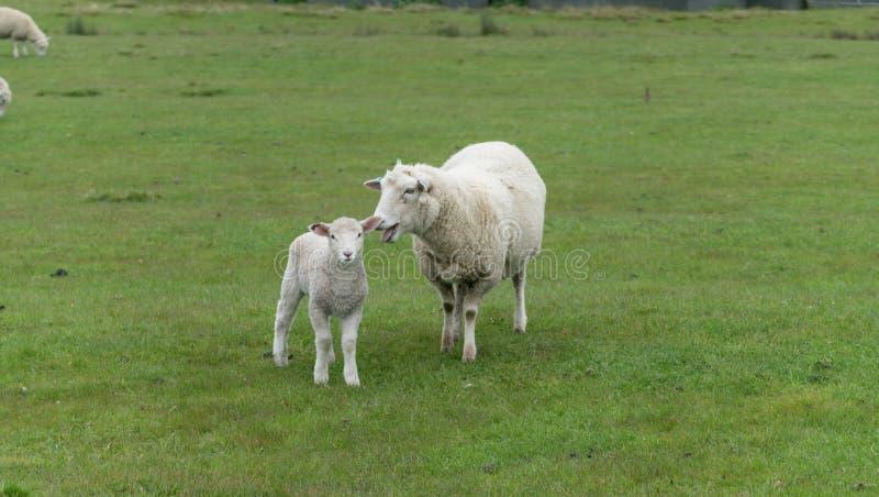 Schafe und neue Lämmer auf Bauernhof stockfotos
