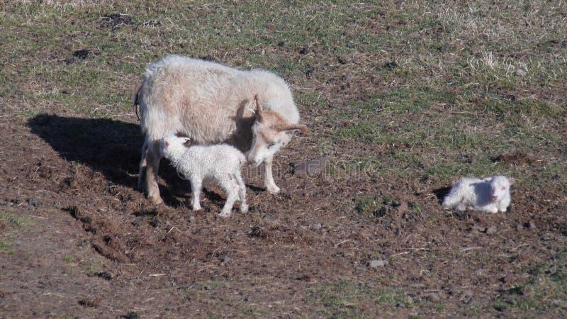 Schafe und neugeborene Doppellämmer stockbilder