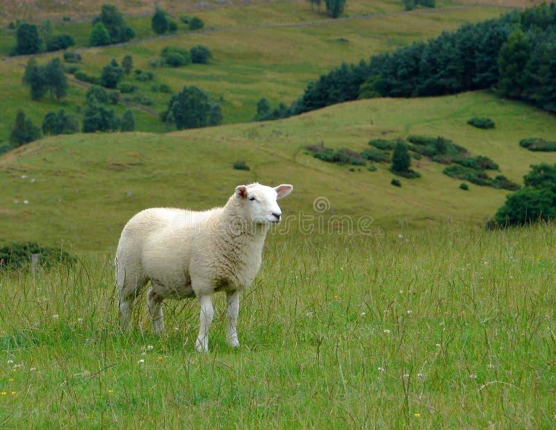 Schafe und schottische Landschaft stockbilder