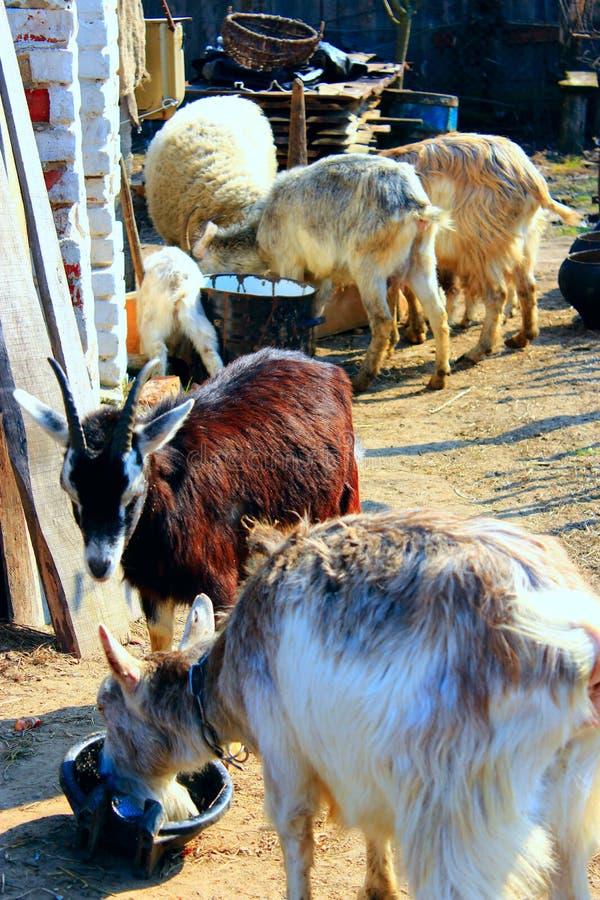 Schafe und Ziegen essen im Hof stockfotos