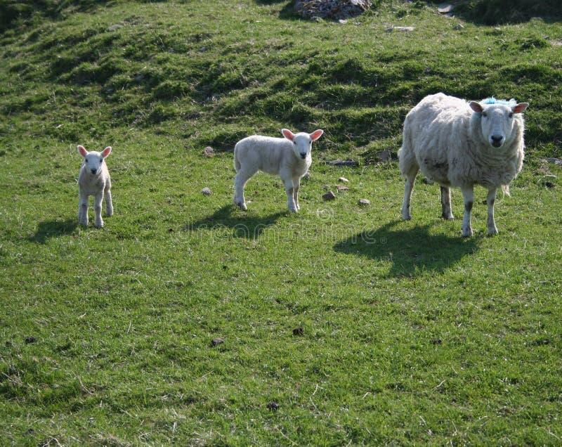Schafe und zwei Lämmer stockbild