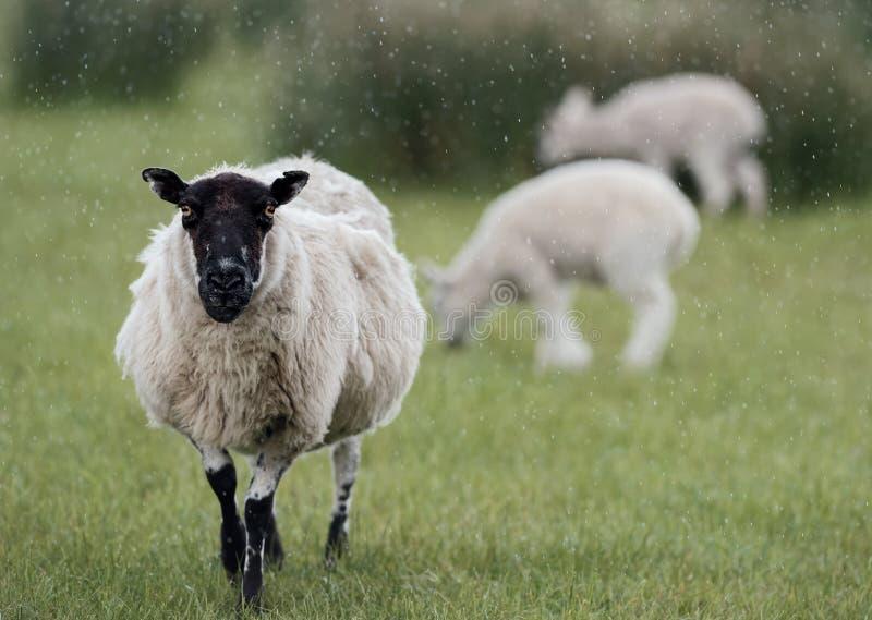 Schafe und zwei Lämmer im Regen lizenzfreie stockfotografie