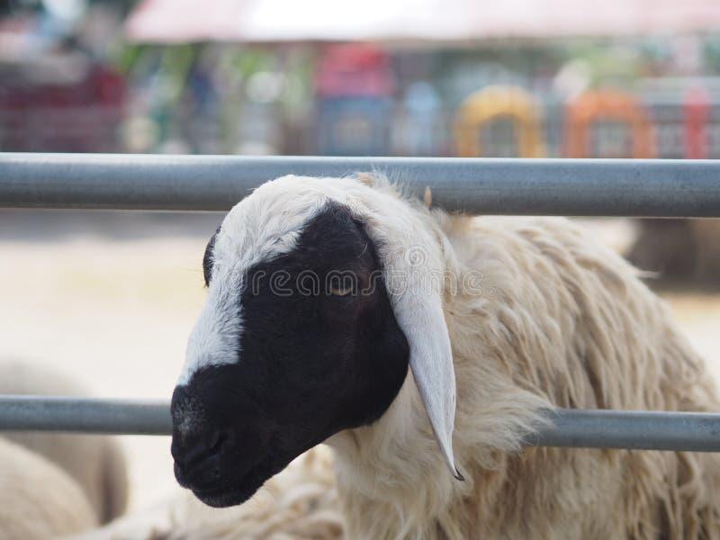 Schafe in Vieh-Nahaufnahmegesicht Vlies stockfotografie