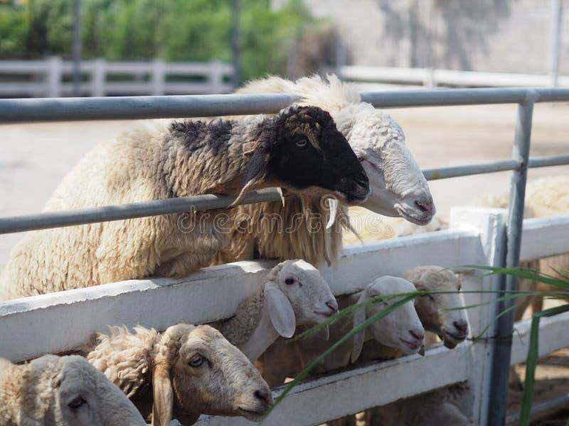 Schafe in Vieh-Nahaufnahmegesicht Vlies lizenzfreies stockfoto