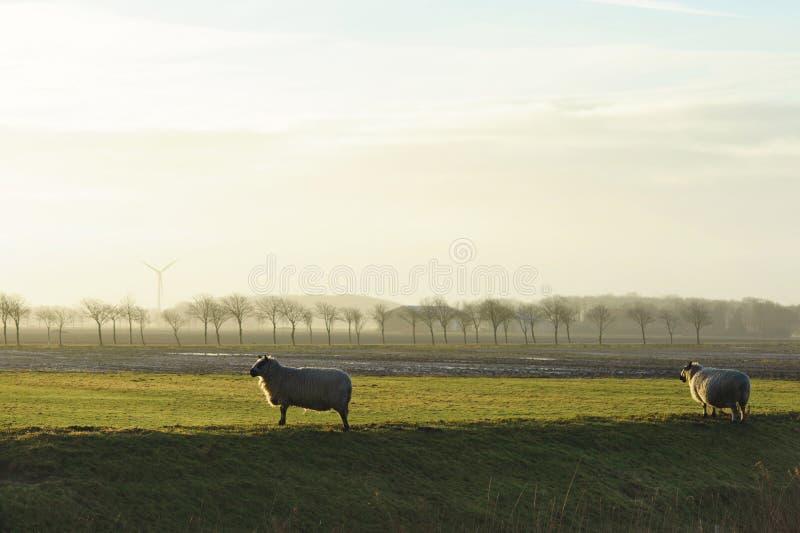 Schafe vor Feld mit Bäumen und Windmühle auf dem Horizont Typische holländische Landschaft lizenzfreies stockbild