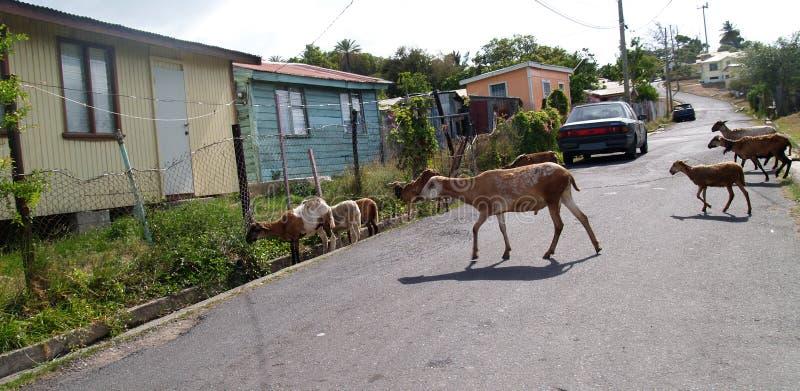 Schafe, welche die Nachbarschaft in Antigua durchstreifen lizenzfreie stockbilder
