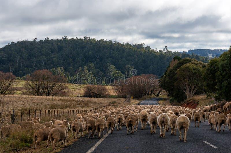 Schafherde auf der Straße lizenzfreie stockfotografie