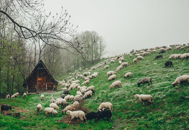 Schafherde, die auf grünem Berghang am schneebedeckten Tag weiden lässt Die Hütte des Schäfers in einem Hintergrund lizenzfreies stockfoto