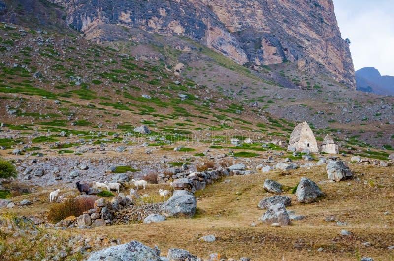 Schafherde, die nahe dem Friedhof weiden lässt lizenzfreies stockfoto