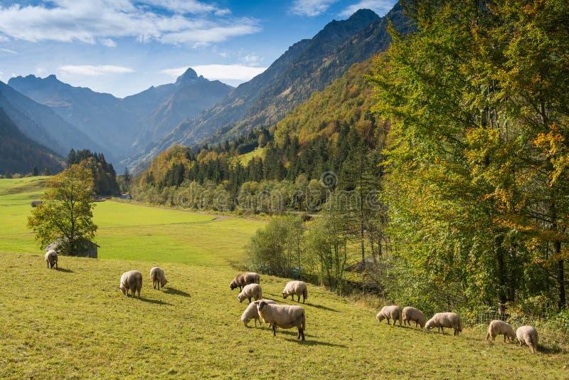 Schafherde in einem Gebirgstal stockbilder