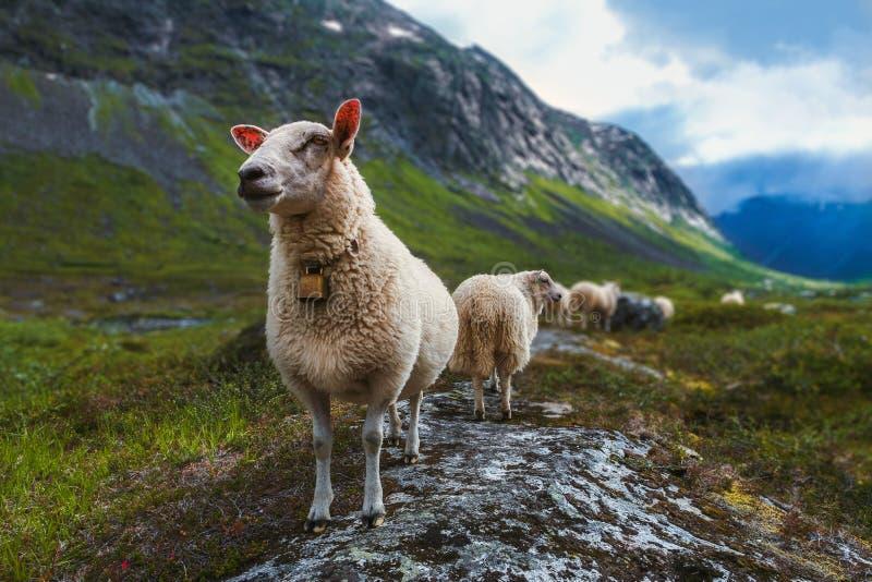 Schafherde im Sommer Skandinavien lizenzfreie stockfotografie