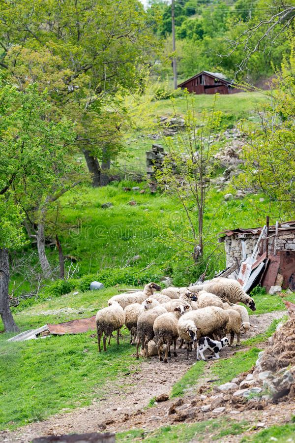 Schafherde nahe kleiner Gebirgshütte in Bulgarien stockbilder