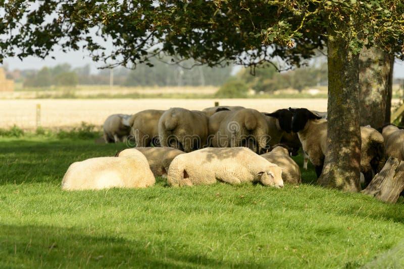 Schafherde unter einem Baum, Romney Marsh lizenzfreie stockfotos