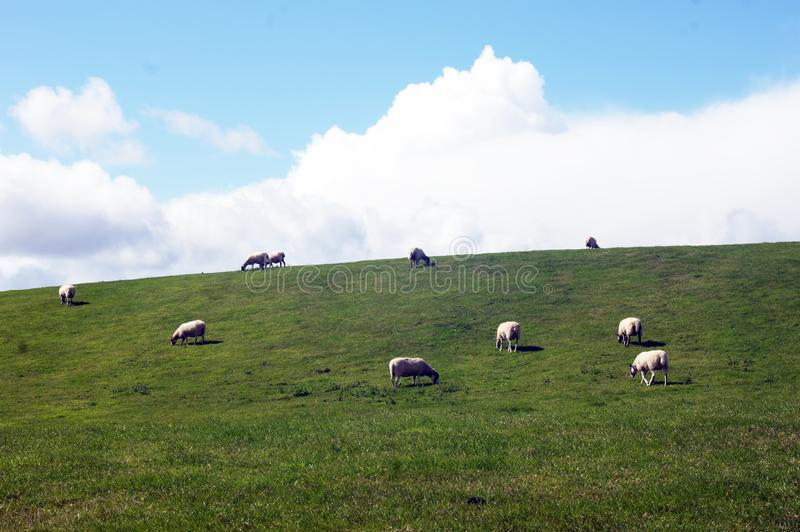 Schafherde ziehen auf Wiese ein stockfotos