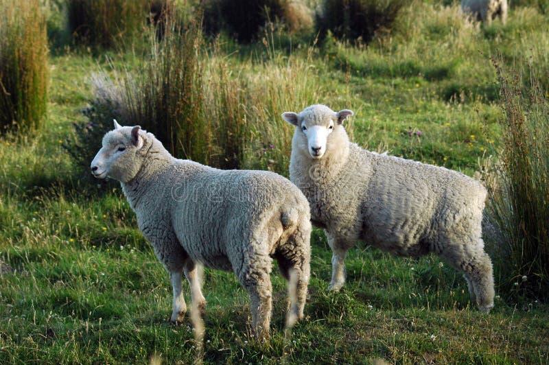 Schafpaare stockfotos