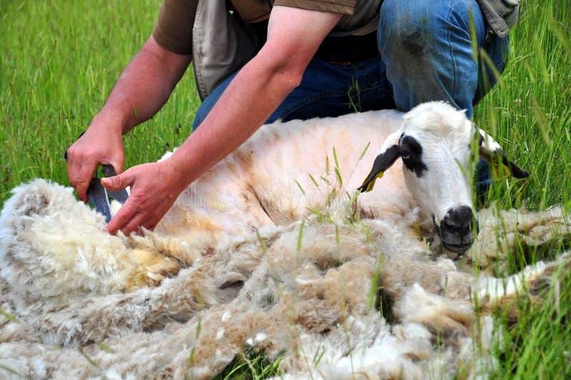 Schafscheren stockfotografie
