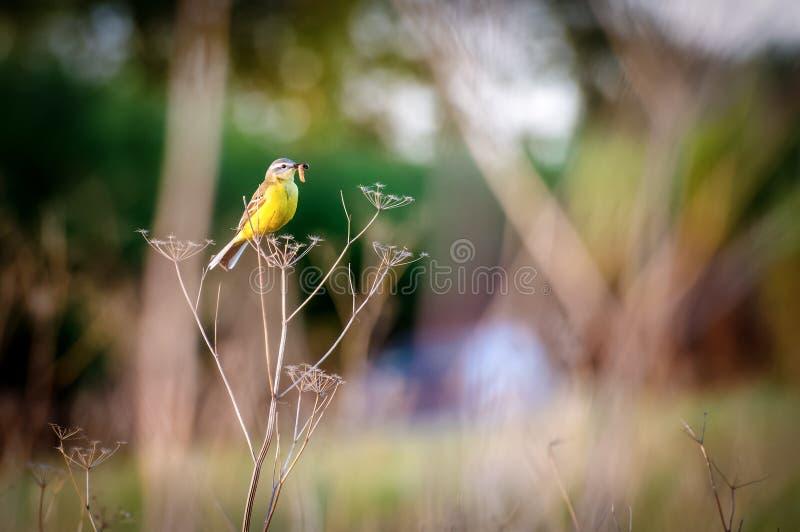 Schafstelzevogel mit Wurm in der Wiese, lizenzfreies stockfoto