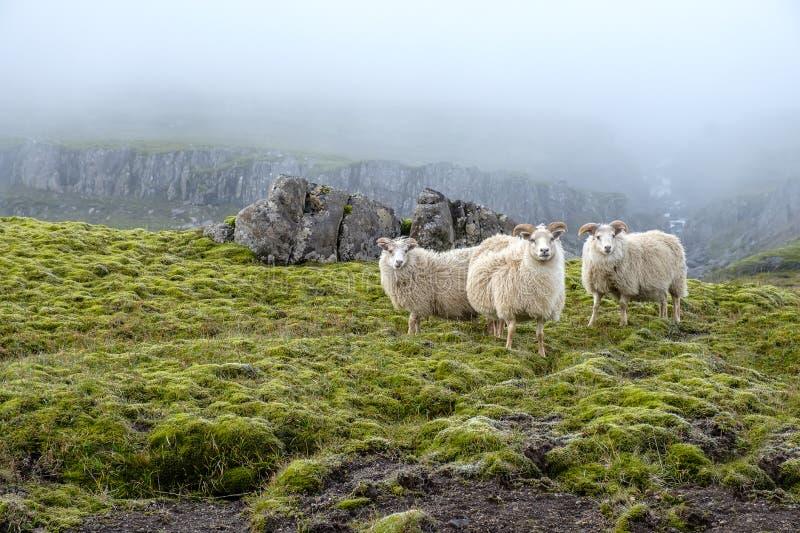 Schafweide auf dem Hintergrund majestätischer Natur, Nebel und isländischer Moos lizenzfreies stockfoto