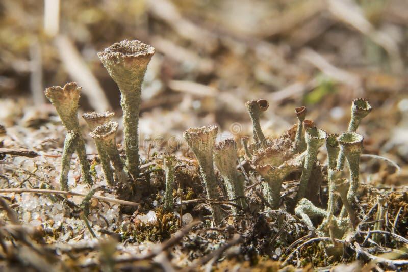 Schalenflechte Pilzartiges Wachsen der Trompetenflechte in der natürlichen Umwelt Cladonia fimbriata, Familie Cladoniaceae stockfoto