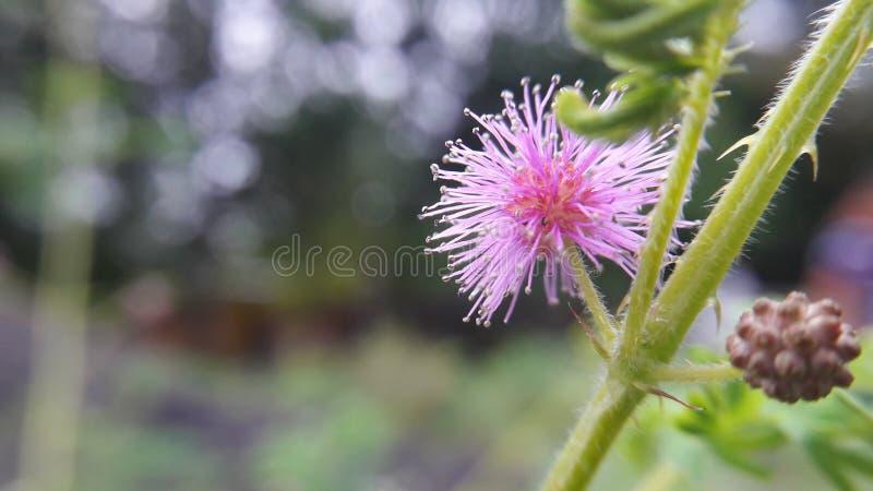 Schamhafte Sinnpflanze/Mimose pudica lizenzfreie stockbilder
