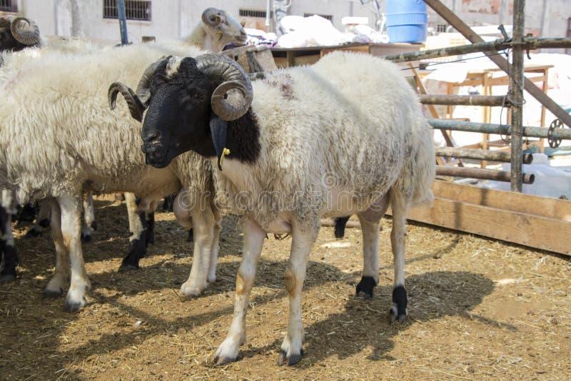 Schapen in de dierlijke markt worden verkocht die stock foto's