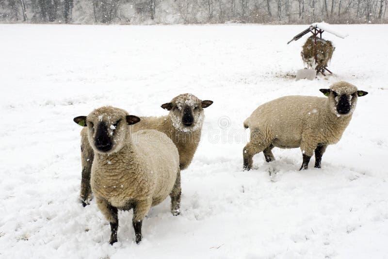 Schapen in de sneeuw stock afbeelding