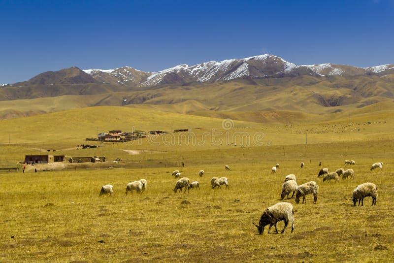 Schapen in de sneeuwberg van Tibet stock fotografie