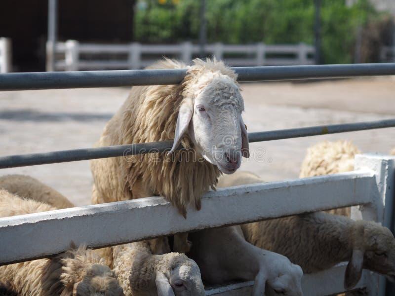 Schapen in de Vacht van het de close-upgezicht van landbouwbedrijfdieren stock afbeelding