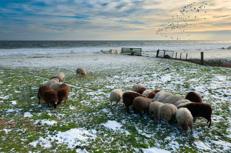 Schapen in de winter royalty-vrije stock foto's