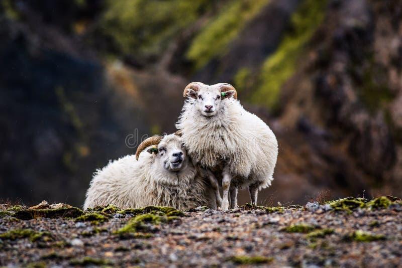 Schapen die in de bergen van IJsland weiden royalty-vrije stock fotografie
