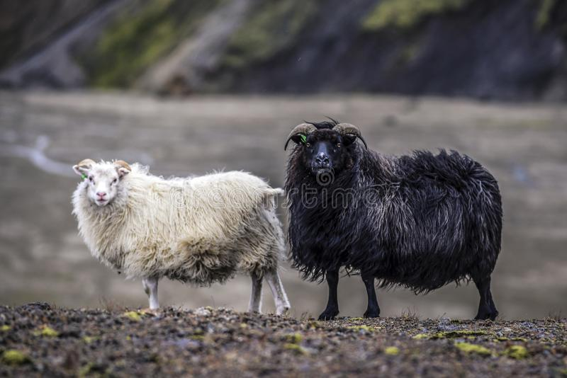 Schapen die in de bergen van IJsland weiden stock foto