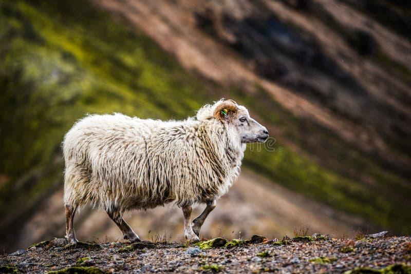 Schapen die in de bergen van IJsland weiden stock afbeeldingen