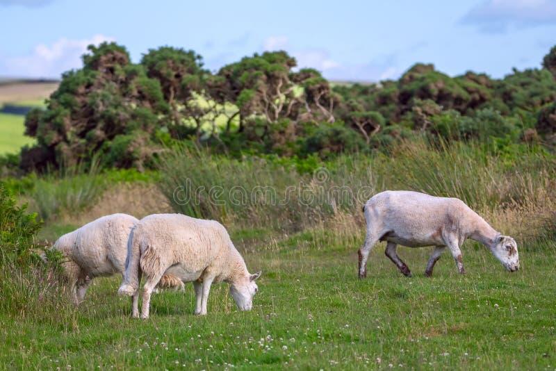 Schapen die in de weiden van de noordelijke kust van Devonshire weiden stock foto's