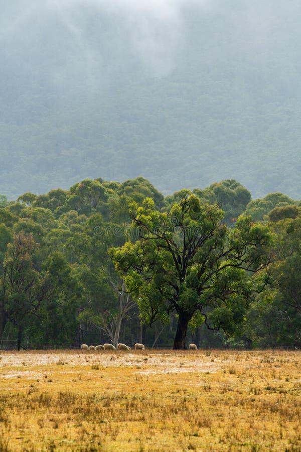 Schapen die in een paddock onder een gomboom weiden - nevelige regen en berg op de achtergrond stock foto's