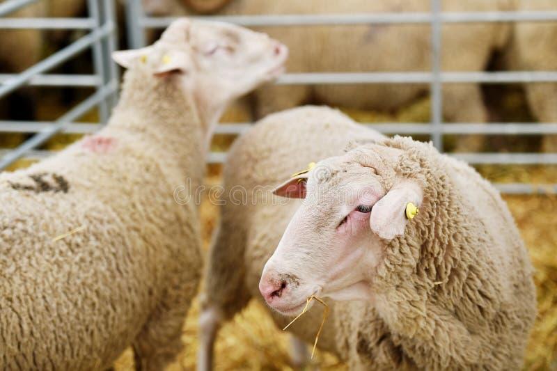 Schapen die in een schapenlandbouwbedrijf weiden royalty-vrije stock foto