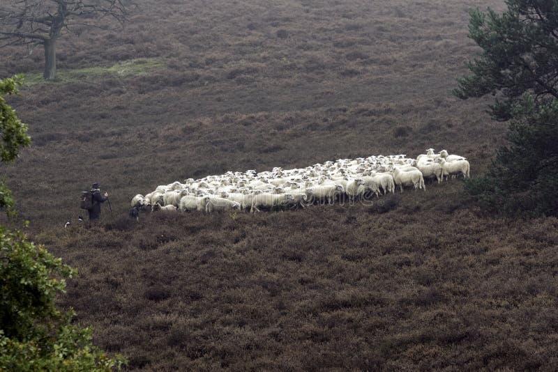 Schapen die herder op haar troep letten royalty-vrije stock afbeelding