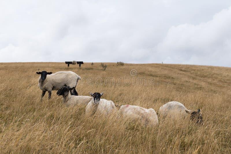 Schapen die in het Engelse landschap bij Meisjekasteel dichtbij Dorchester Dorset Groot-Brittannië in de zomer weiden royalty-vrije stock afbeeldingen