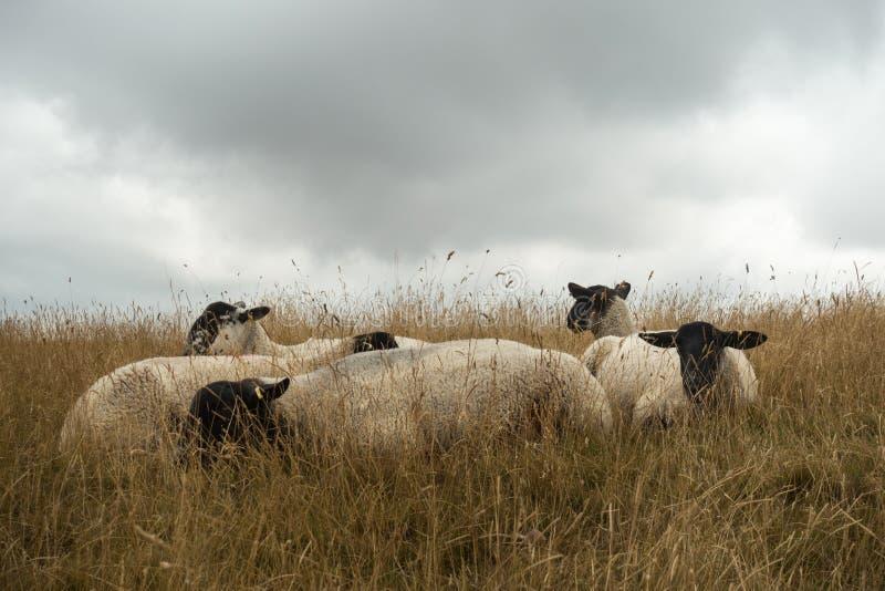 Schapen die in het Engelse landschap bij Meisjekasteel dichtbij Dorchester Dorset Groot-Brittannië in de zomer weiden stock afbeeldingen