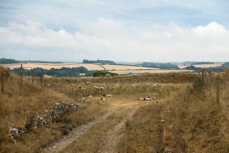 Schapen die in het Engelse landschap bij Meisjekasteel dichtbij Dorchester Dorset Groot-Brittannië in de zomer weiden royalty-vrije stock foto's