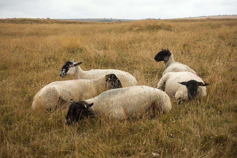 Schapen die in het Engelse landschap bij Meisjekasteel dichtbij Dorchester Dorset Groot-Brittannië in de zomer weiden stock foto's