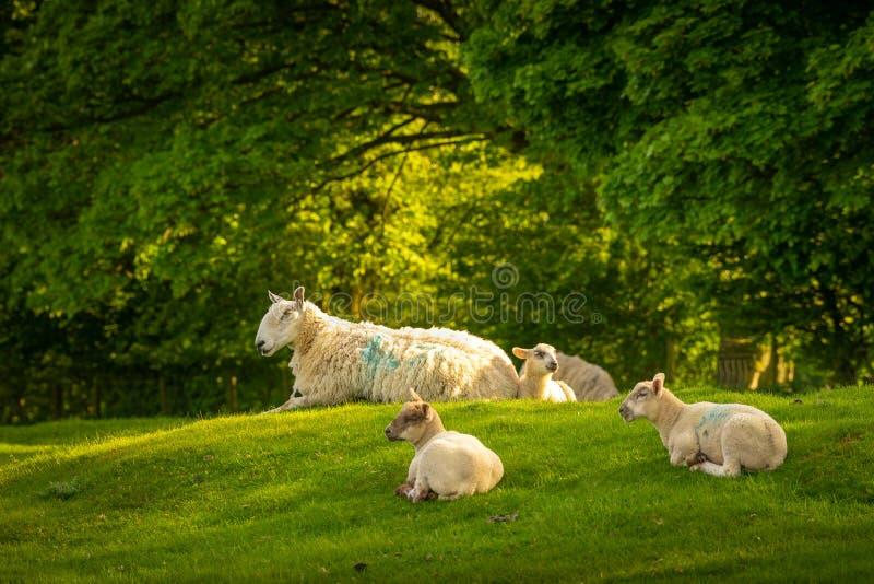 Schapen die in het zonlicht bovenop Dovers-Heuvel dichtbij Scherf Campden rusten stock afbeeldingen