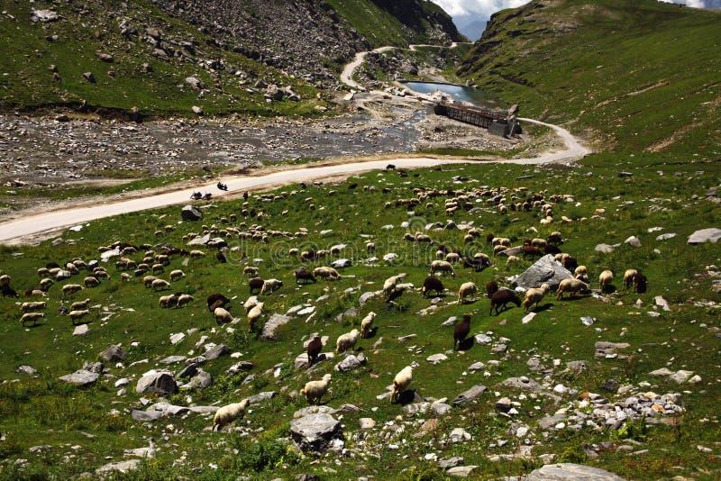 schapen die in mooie bergvallei weiden, Indisch Himalayagebergte, royalty-vrije stock afbeeldingen