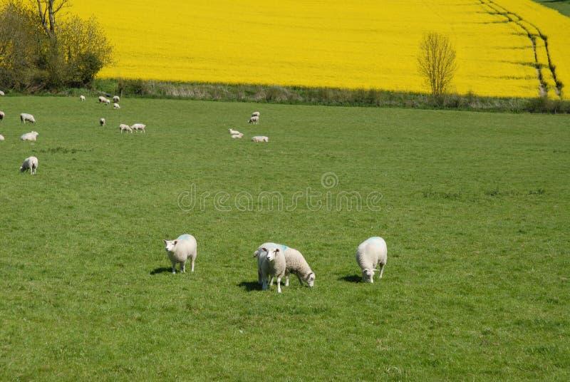 Schapen die op een groen gebied in de Lente weiden, Engeland royalty-vrije stock foto