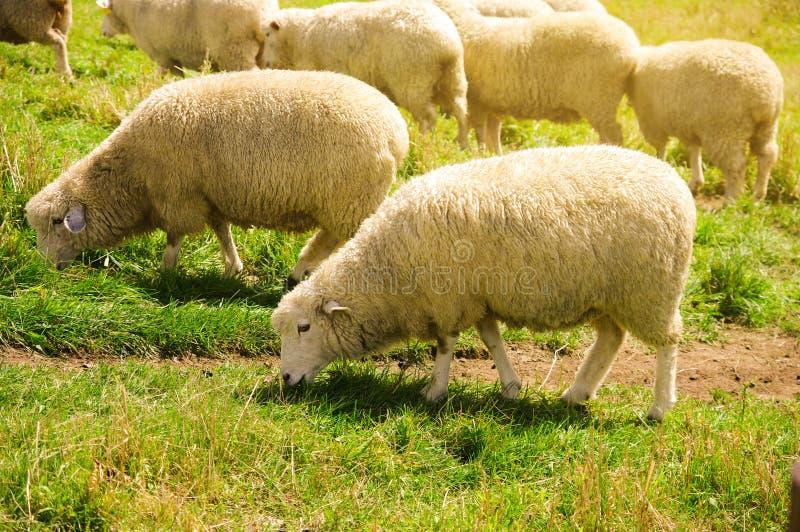Schapen die op graslandbouwbedrijf voeden royalty-vrije stock afbeelding
