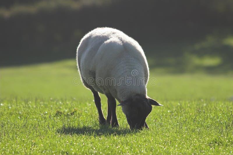 Schapen die op met dauw bedekt gras weiden royalty-vrije stock foto