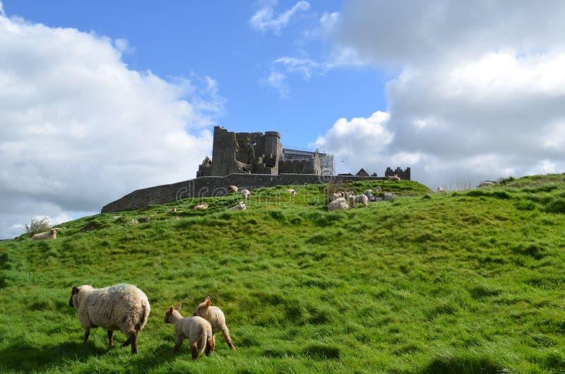 Schapen die voor de Rots van Cashel weiden royalty-vrije stock foto