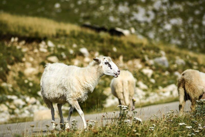 Schapen die in weiden in de Durmitor-Bergen in Montenegro weiden royalty-vrije stock foto's
