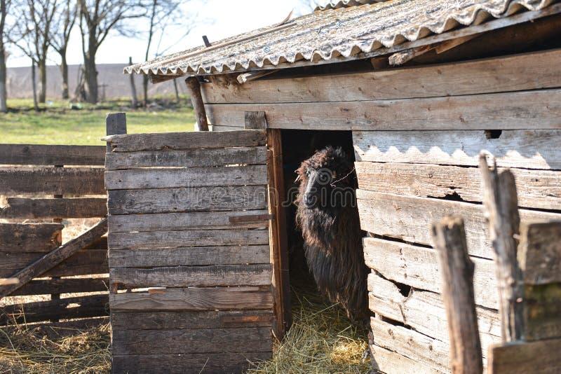 Schapen die zich in de deuropening van de schuur bij het landbouwbedrijf bevinden royalty-vrije stock foto