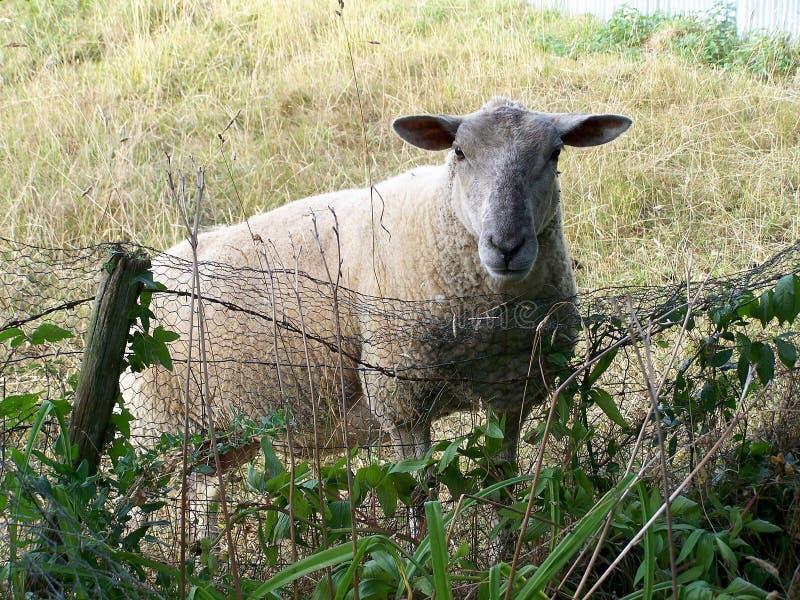 Schapen, een schaap op een gebied in de zomer stock foto